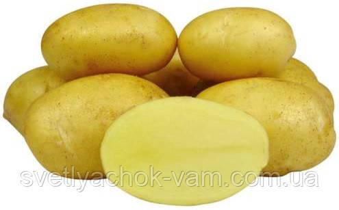 Насіннєва картопля Тоскана сорт стійкий середньоранний смачний лежкий клас 1Р фракція 35 - 55 мм Голландія