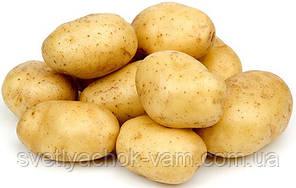 Картопля Марітіма посадкова перша репродукція високоврожайний Голландія фракция 35-45мм