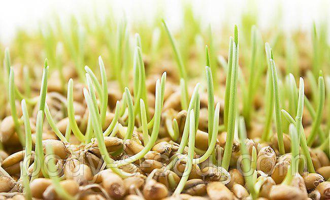 Масло зародышей пшеницы водорастворимое
