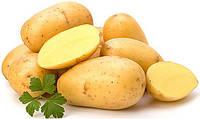 Картопля посадкова Рів'єра сорт ультраранній  перша репродукція врожайнийй Голландія фракція 35 - 45 мм