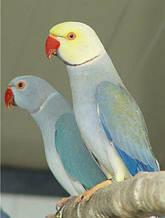 Кольчатые или ожереловые попугаи (благородные) ·попугаи - Psittacula
