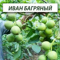 Грецкий орех Иван Багряный, трехлетний