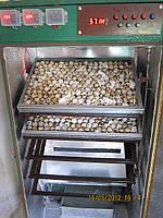 Инкубатор автоматический на 1350 перепелиных яиц (450 куриных)