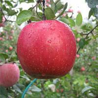Саженцы яблони Фуджи (среднерослые ММ 106)