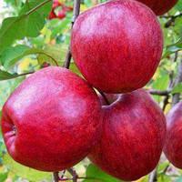Саженцы яблони Моди (среднерослые ММ 106)