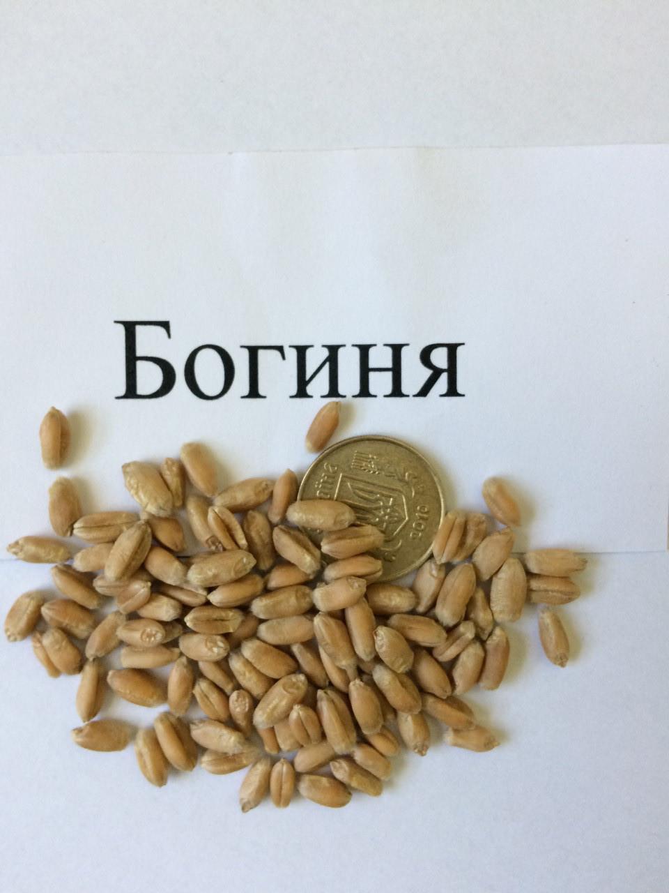Семена пшеницы  озимая БОГИНЯ