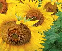 Насіння соняшника ЛГ 5550   LG 5550 від Лімагрейн