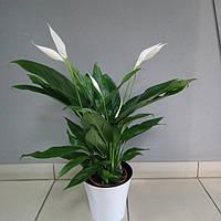 Горшечное растение Спатифиллум Вивальди (Женское счастье)