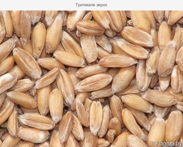 Семена тритикале  АМОС
