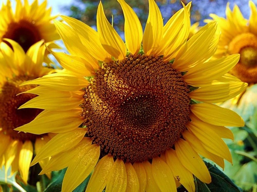 Насіння соняшника Євраліс Ніагара