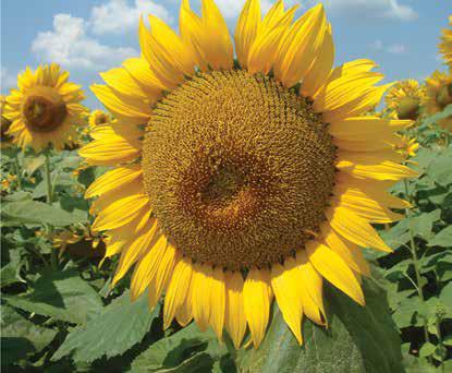 Насіння соняшника Белла Євраліс