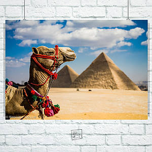 Постер Верблюд на фоне Великих Пирамид, Египет. Размер 60x42см (A2). Глянцевая бумага