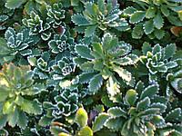 Очиток камчатский зеленый, фото 1