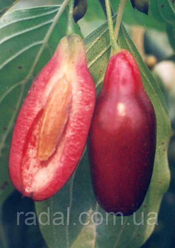 Кизил обыкновенный Jolico (Cornus mas Jolico)