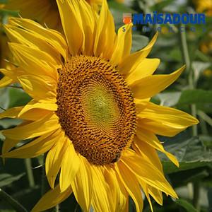 Насіння соняшнику Мас 82.А (Maisadour semences)