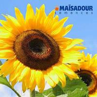 Насіння соняшнику Мас 83.R (  Maisadour semences)