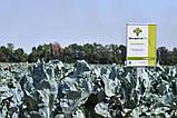 Семена брокколи Монрелло F1, 2500 семян, фото 2