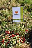 Семена томата Санмино F1, 1000 семян, фото 2