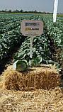 Семена капусты ЦЕНТУРИОН F1, 10000 семян (Elisem), фото 2
