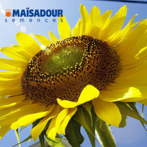 Насіння соняшнику Mas 89.М (  Maisadour semences)
