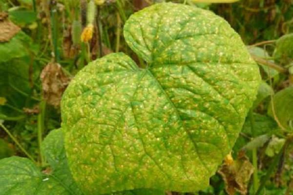 Желтеют листья огурца