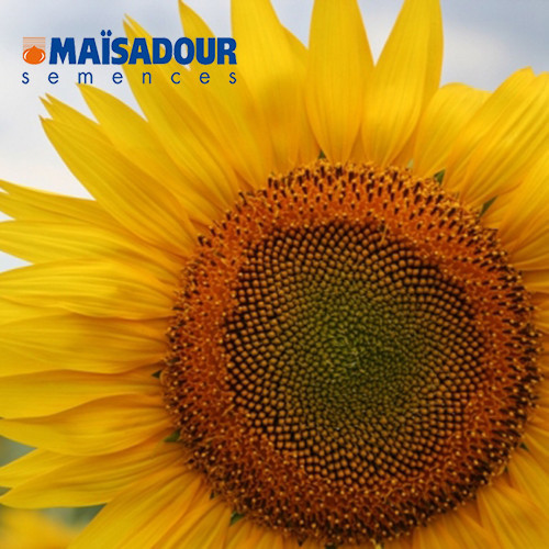 Насіння соняшника  Mac 97.A ( Maisadour semences)