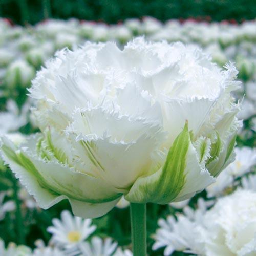 Тюльпан Snow Crystal двойной многоцветковый бахромчатый, 1шт
