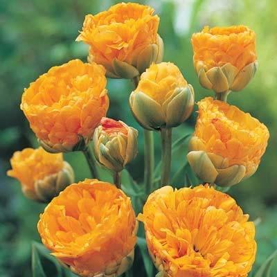 Тюльпан Double Beauty of Apeldoorn 1 шт