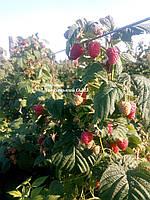 Саженцы малины Зюгана