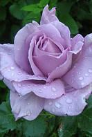 Саженец розы ВАНДЕ БЛУ WONDER BLUE