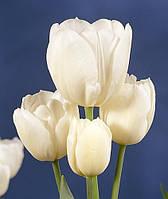 Тюльпан Триумф многоцветковый Weisse Berliner (Вайсе Белина) 3 луковицы
