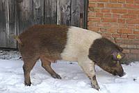 Поросята (від 21-30 кг) червоно білопоясої породи свиней