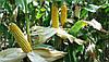 Насіння кукурудзи РАМ 8663 (АК Степова) ФАО 340