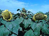 Семена подсолнечника Мерсин (Турецкая селекция)