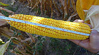 Семена кукурузы Тарцал, Венгерская селекция