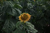 Семена подсолнечника Тантал (Турецкая селекция)