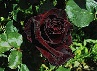 "Саженцы роз ""Черный принц"""