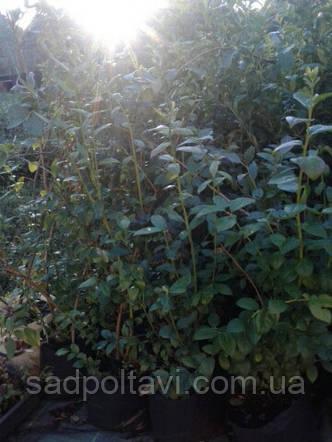 Саженцы голубики БлуГолд в конт.8л, фото 2