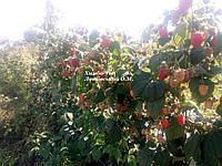 Саженцы малины Химбо Топ (Himbo-Top)