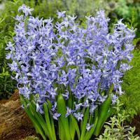 Гиацинт многоцветковый Blue Festival 1 луковица 16/17