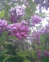 Акація біла розовоквіткова,  — Robinia viscosa Vent.
