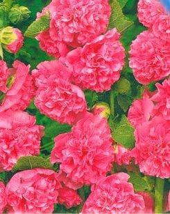 Мальва махровая темно-розовая (имп.), фото 2