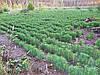 Как самому вырастить саженцы лесных деревьев?