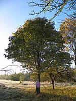 Саженцы клена высотой 0,5-4 метра.