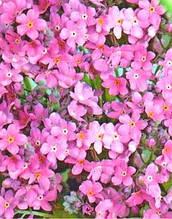 Незабудка розовая многолетник (имп.)
