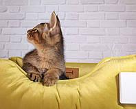 Мальчик Gustav 14.07.18. Котёнок Чаузи Ф2 питомника Royal Cats, фото 1
