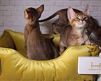 Ручные крупные котята Чаузи Ф2 14.07.18. Шикарная детки питомника Royal Cats, фото 1