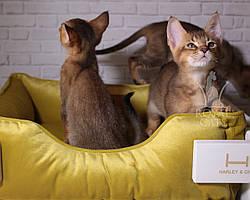 Ручные крупные котята Чаузи Ф2 14.07.18. Шикарная детки питомника Royal Cats