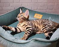 Девочка Essa 23.06.18. Бенгальская кошечка питомника Royal Cats.