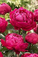 Red Sarah Bernhardt (Fiona)